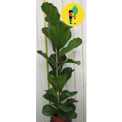 Kamerplant groot Ficus lyrata 100 cm Warentuin Natuurlijk Urban Street Forest