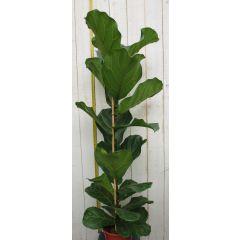 Kamerplant groot Ficus lyrata 100 cm Warentuin Natuurlijk