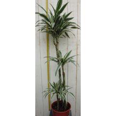 Kamerplant Drakenbloedboom Dracaena Fragrans Wit-Groen 120 cm Warentuin Natuurlijk