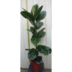 Kamerplant Ficus elastica robusta 80 cm 1 steel Warentuin Natuurlijk