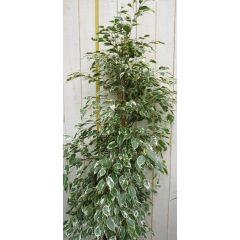 Kamerplant Ficus Witbont 100 cm Warentuin Natuurlijk