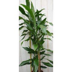 Kamerplant Drakenbloedboom Dracaena Fragrans Donkergroen 120 cm Warentuin Natuurlijk