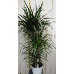 Kamerplant Drakenbloedboom Dracaena Marginata smal blad Groen 120 cm Warentuin Natuurlijk