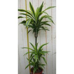Kamerplant Drakenbloedboom Dracaena Fragrans Geel-Groen 120 cm Warentuin Natuurlijk