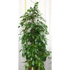 Kamerplant Ficus Donkergroen 100 cm Warentuin Natuurlijk