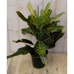 Kamerplant Croton 50 cm Warentuin Natuurlijk