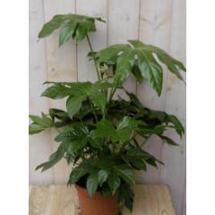 Kamerplant Fatsia Vingerplant 60 cm Warentuin Natuurlijk
