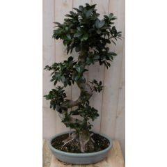 Kamerplant Bonsai Ficus 80 cm Warentuin Natuurlijk