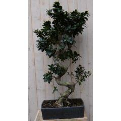 Kamerplant Bonsai Ficus 100 cm Warentuin Natuurlijk