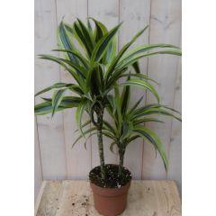 Kamerplant Drakenbloedboom Dracaena Geel-Groen 60 cm Warentuin Natuurlijk