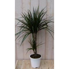 Kamerplant Drakenbloedboom Dracaena Marginata smal blad Groen 60 cm Warentuin Natuurlijk