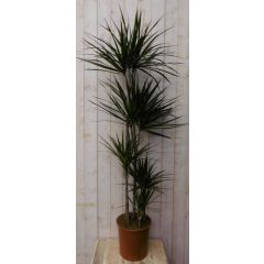 Kamerplant Drakenbloedboom Dracaena Marginata smal blad Groen 160 cm Warentuin Natuurlijk