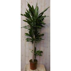 Kamerplant Drakenbloedboom Dracaena Massangeana Geel-Groen 160 cm Warentuin Natuurlijk