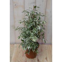 Kamerplant Ficus witbont 60 cm Warentuin Natuurlijk