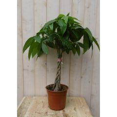 Kamerplant Geldboom Pachira op stam 60 cm Warentuin Natuurlijk
