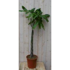 Kamerplant Geldboom Pachira op gevlochten stam 120 cm Warentuin Natuurlijk