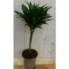Kamerplant Drakenbloedboom Dracaena Compacta 60 cm Warentuin Natuurlijk