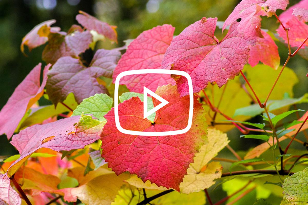 Herfst in de tuin - Bladhoudende en bladverliezende heesters