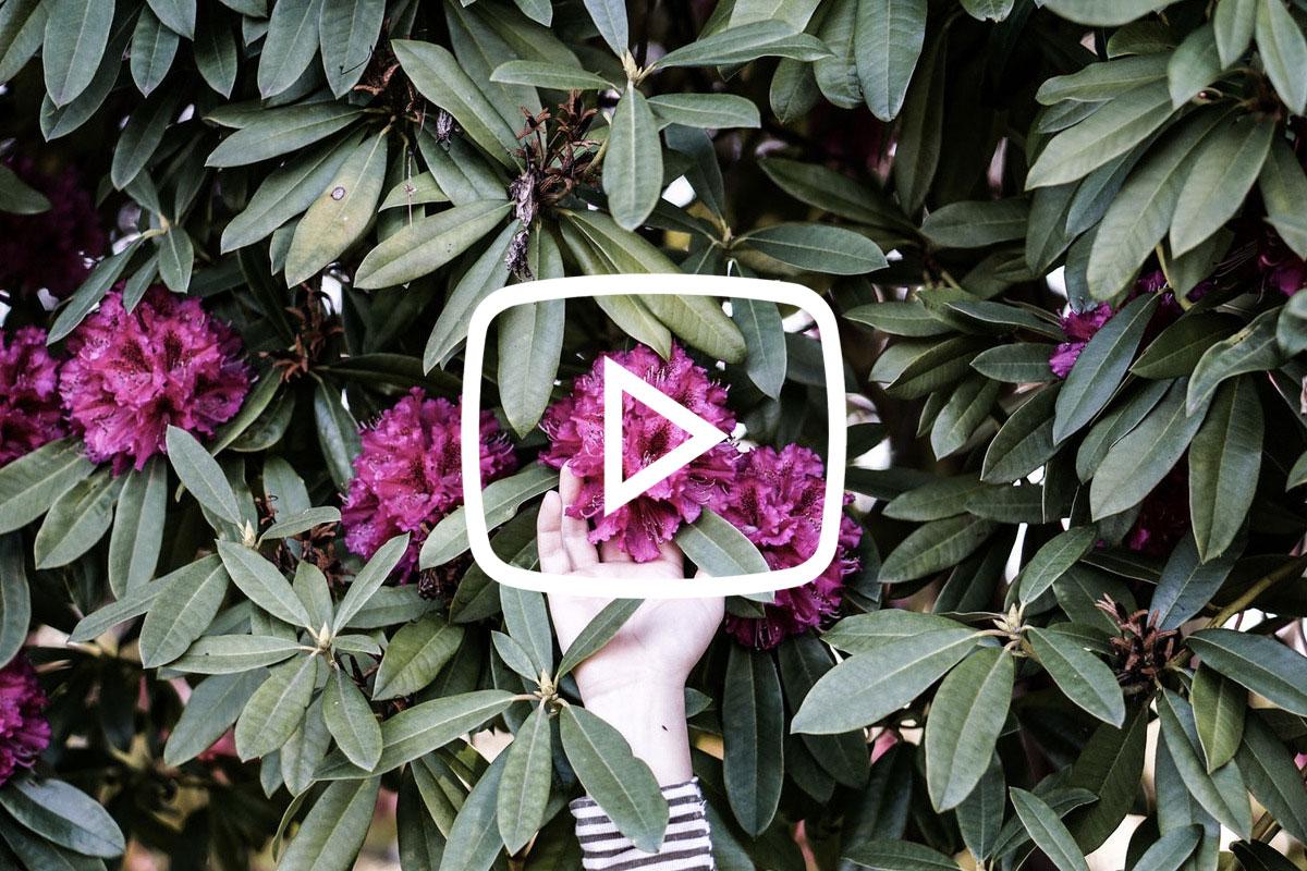 Azalea's & Rododendrons